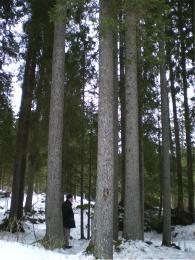 弦楽器の表板となるアベーテ・ロッソの森