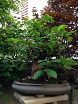 花梨の木 樹齢60年~紫泥袋式楕円鉢